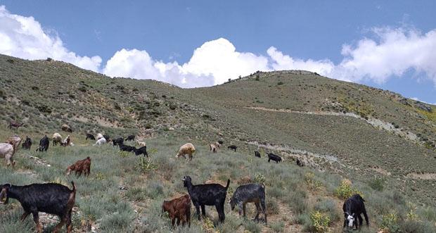 Keçi sürüsü ot bulmak için dağların yüksek kesimlerine çıkıyor