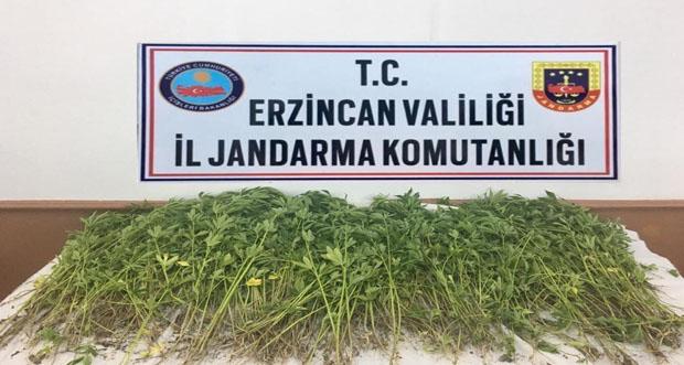 Erzincan'da Kök Kenevir Bitkisi Ele Geçirildi