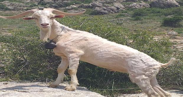 Erzincan'da, Saanen ırkı keçiyi sürüsüne kattı