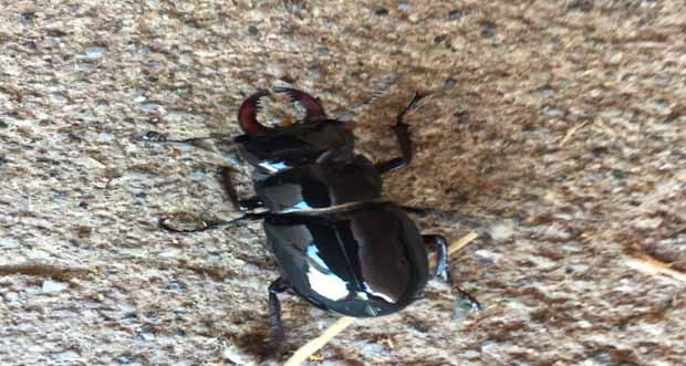 Doğada nadir bulunan geyik böceği Erzincan çağlayanda görüldü