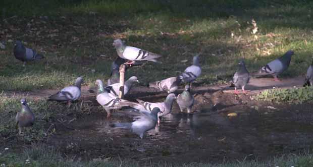 Güvercinlerin su keyfi