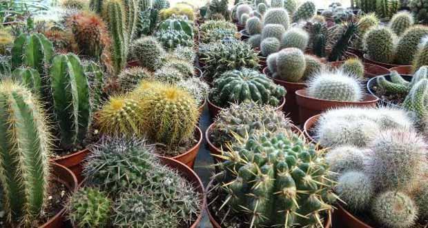 Kaktüs çiçeğinin faydaları nelerdir