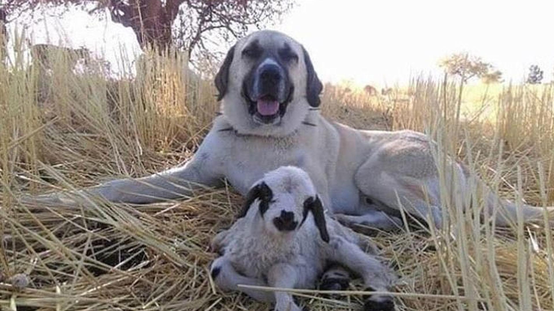 Kuzunun başında bekleyen fedakar köpek