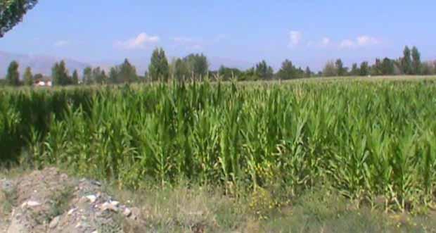 Erzincan'da hasadı başladı