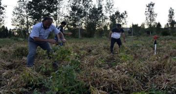 Gümüşhane'nin Köse ilçesinde kuru fasülye hasadı başladı