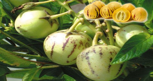 Tropikal pepino meyvesi faydaları nelerdir?