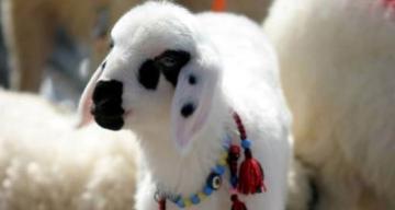 Erzincan İli damızlık koyun ve keçi yetiştirileri birliği seçim startı verdi