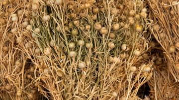 Üzerlik bitkisinin faydaları nelerdir? Üzerlik otu tohumu çayı nelere iyi gelir?