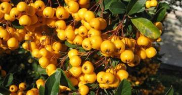 Alıç nedir, faydaları nelerdir? Alıç meyvesinin ve yaprağının bilinmeyen faydaları
